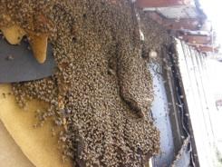 Santa Barbara Bee Comp...